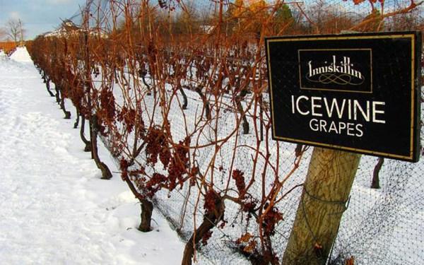شهر شراب یخ؛  انگور این شراب در زمستان  چیده می شود