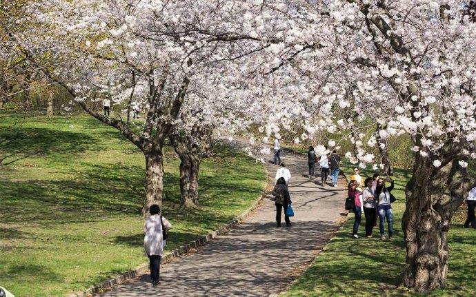 """""""شکوفه های گیلاس در """"های پارک"""