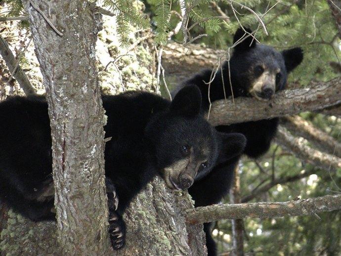 برای گریز از خرس هرگز به بالای درخت نروید، خرس مهارت خاصی در بالا رفتن از درختان دارد.