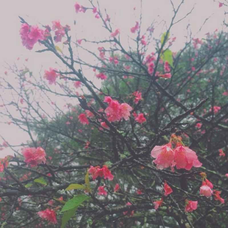 cherry-cherry-blossom