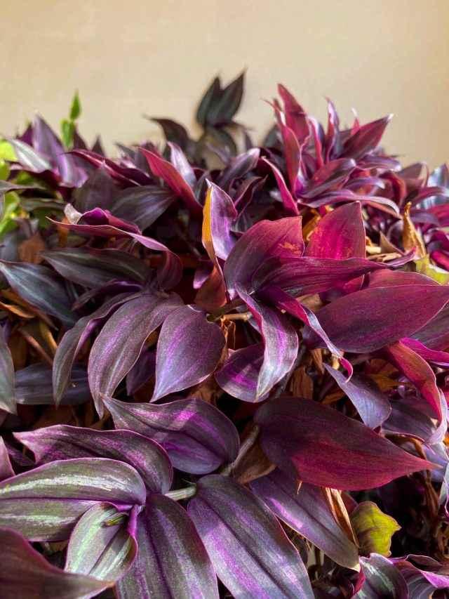 5 plantas para quem gosta de roxo (e não são flores)!