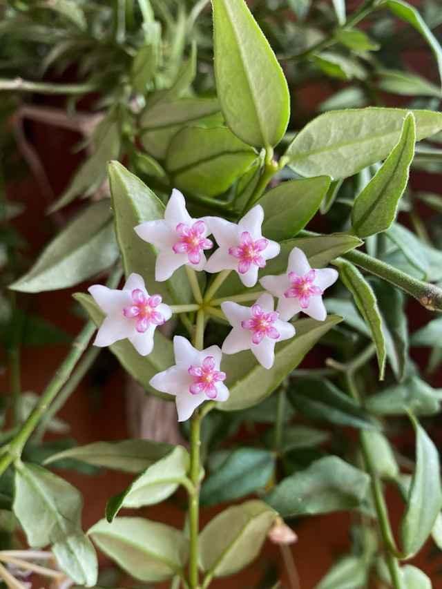 6 espécies de Flor-de-Cera