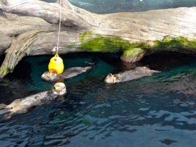 Cutest Otters at the Oceanarium.
