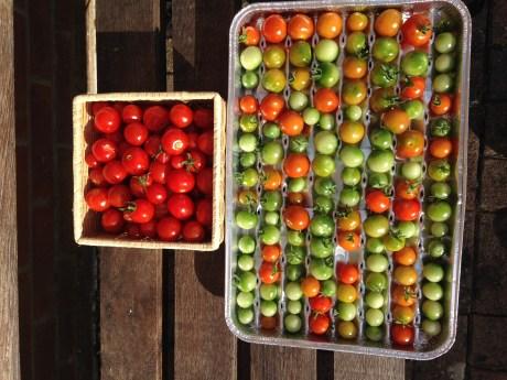 Haines tomato crop