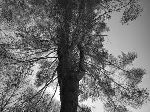 Pine Shade, 2017