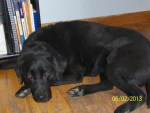 This is Havan my Service Dog from CCI - It is difficult to get a good photo of her.