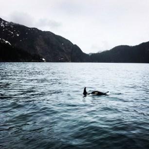 Orcas in Seward, Alaska