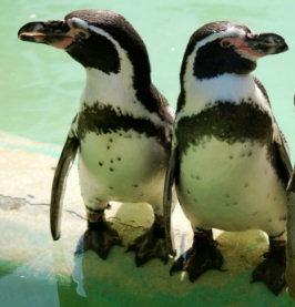 penguin_pair