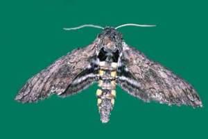 tobacco-moth