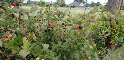 wildblackberries_todayshomeowner