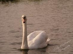 swan swimming on water looking at camera