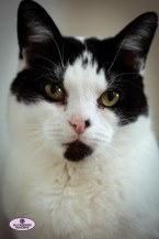beautiful black white cat portrait Paddy Sally Widdowson Photography