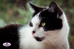 beautiful black white cat portrait green eyes whiskers Paddy Sally Widdowson Photography