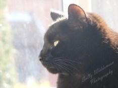 Back-lit handsome black cat in profile portrait for pet photography session