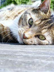 Beautiful tabby cat lying on side looking at camera for pet photography session