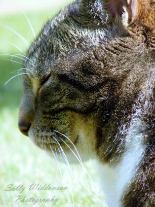 Close up Happy tabby cat resting portrait in profile for pet photoshoot
