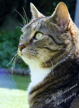 Alert tabby cat profile for outdoor pet photoshoot