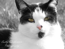 Portrait of black and white cat with pink nose and green eyes for pet photoshoot