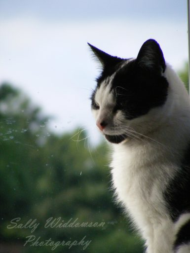 Handsome black and white cat in a window side-lit by late afternoon light