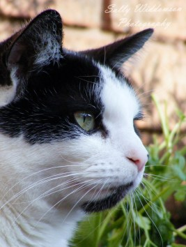 Close up portrait of alert black and white cat in profile for pet photoshoot
