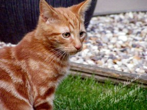 Cute ginger kitten looking sad portrait for pet photography session marmalade tabby