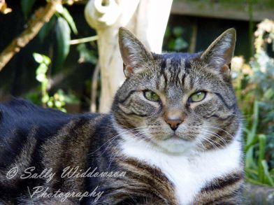 Tabby Cat portrait
