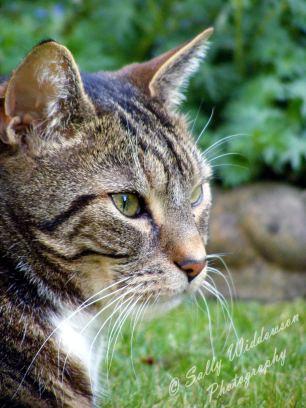 tabby cat semi profile portrait whiskars