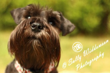 Sally Widdowson Photography miniature schnauser black dog Bramble Jack pet photography Yorkshire Lincolnshire Nottinghamshire Doncaster Scunthorpe Gainsborough portrait full front view big nose cute