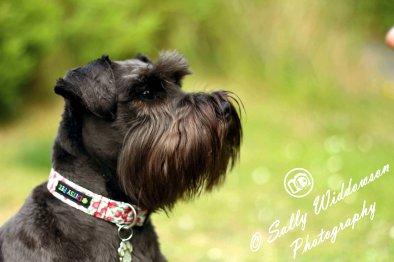 Sally Widdowson Photography miniature schnauser black dog Bramble Jack pet photography Yorkshire Lincolnshire Nottinghamshire Doncaster Scunthorpe Gainsborough