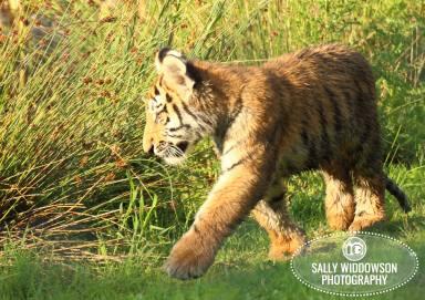 Sally Widdowson Photography amur tiger cub running Yorkshire Wildlife Park