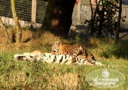 Sally Widdowson Photography amur tiger cub lying on mum Yorkshire Wildlife Park