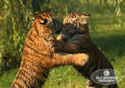 Sally Widdowson Photography amur tiger cubs play fighting Yorkshire Wildlife Park