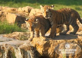 Sally Widdowson Photography amur tiger cubs by waterfall Yorkshire Wildlife Park