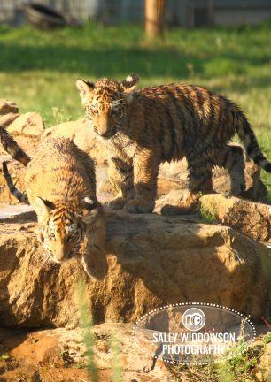 Sally Widdowson Photography amur tiger cubs on rock Yorkshire Wildlife Park