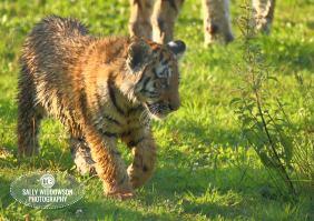 Sally Widdowson Photography amur tiger cub walking Yorkshire Wildlife Park