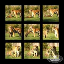montage of amur tiger cub and mother playing patient mum