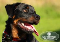 Roo Proctor doberman dog portraite profile tongue out red collar pet photography Yorkshire Lincolnshire Nottinghamshire Doncaster Scunthorpe Gainsborough Sally Widdowson Photography
