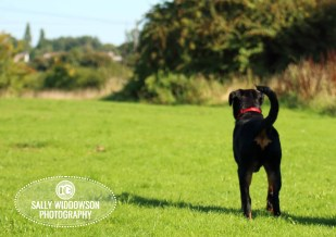 Roo Proctor doberman dog full length standing from behind looking into distance Sally Widdowson Photography