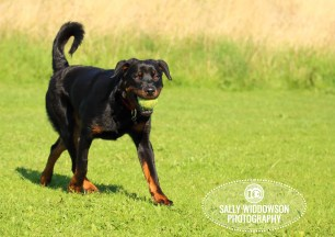 Roo Proctor doberman dog action shot walking carrying tennis ball in mouth Sally Widdowson Photography
