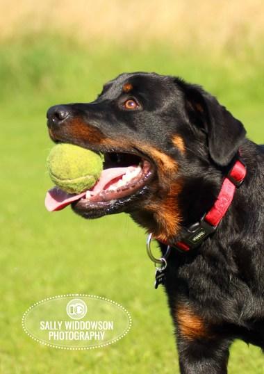 Roo Proctor doberman dog portrait profile head shot carrying tennis ball in mouth Sally Widdowson Photography