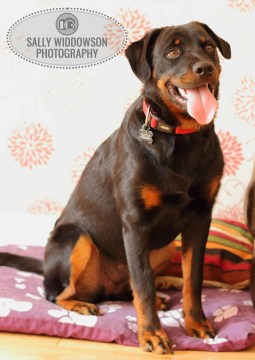 Roo Proctor doberman dog full length sitting up tongue outSally Widdowson Photography