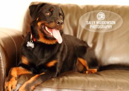 Roo Proctor doberman dog portrait lying on leather couch sofa settee tongue out front viewSally Widdowson Photography