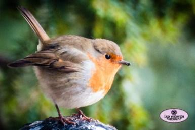 cute fat cold robin greenery behind Sally Widdowson Photography