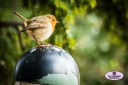 cute fat robin light post greenery Sally Widdowson Photography
