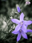 pale purple campanula flowers close up black and white monochrome selective colour Sally Widdowson Photography