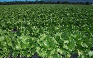 Aumenta 100% producción de lechuga en Guanajuato en 5 años