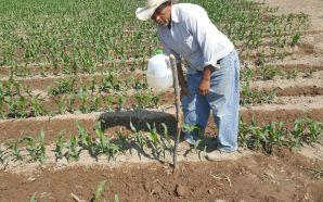 Pide SDAyR mantener vigilancia en cultivos ante plagas
