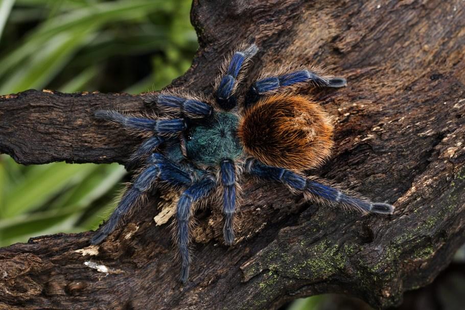 cobalt-blue-tarantula