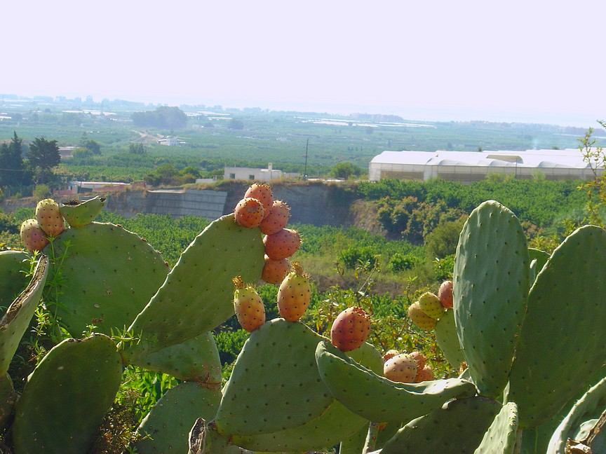Opuntia also known as Nopales with her prickly pear fruit.  Delicious. You must be extra careful when handling these babies believe me.