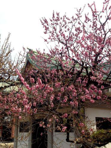 plum blossoms, kitano tenman-gu